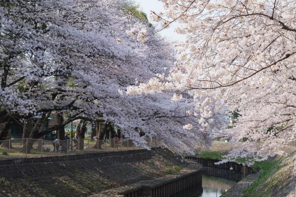 Sakura Zamanı Neden Japonya'ya Gitmelisin?