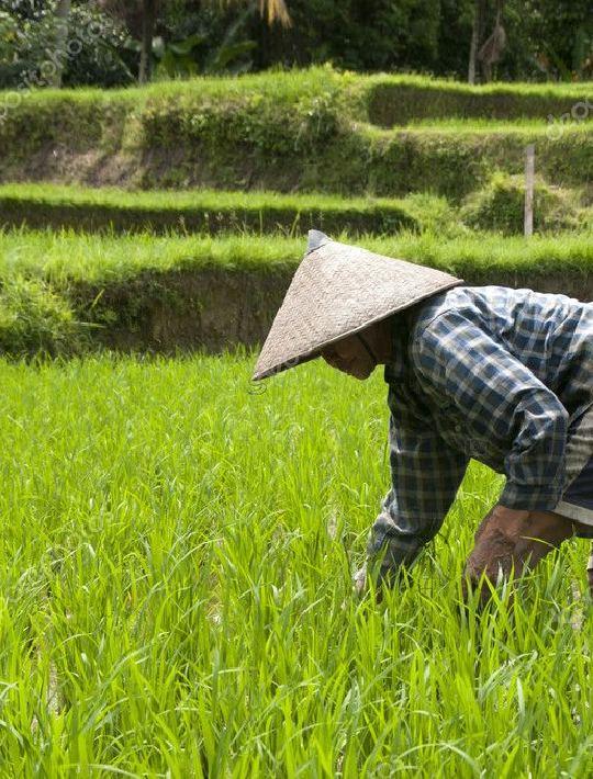 Pirinç Tarlaları Okayama